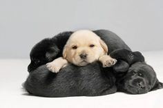 Lab puppies... Cute!