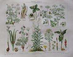1895 Giftpflanzen I. und II. * 2 Original Farbdrucke Antique Prints Lithographie