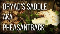Dryad's Saddle aka Pheasantback - Wild Edibles Series