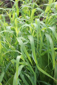If you were ever curious what Panda like to eat that causes the most vomiting that would be GRASS! Palmarosa Essential Oil, Essential Oils, Citronella, Ornamental Grasses, Lemon Grass, Aromatherapy, Canning, Bikers
