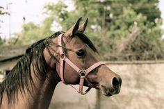 Very beautiful arabian horses….