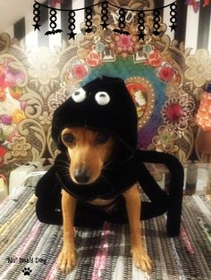 Truco o Trato??? Disfraza a tu mascota de araña peluda¡¡¡
