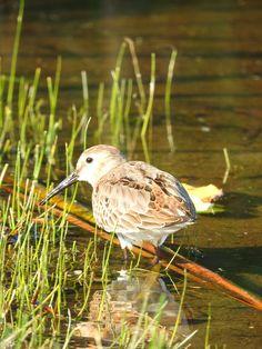 Biegus zmienny (Calidris alpina) Dunlin Wordpress, Bird, Animals, Fotografia, Animales, Animaux, Birds, Animal, Animais