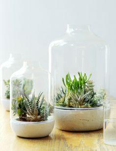 Succulentes sous cloche;