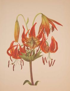 Vintage botanical print from 1925 by Mary Vaux Walcott titled Turkscap Lily . Walcott did the drawings for these prints whilst traveling across North America and they where subsequently produced in 1925 as prints by the Smithsonian in a work on North American Wildflowers. This is a 1925 print and not a later release, these where done in a limited quantity of 500. Vintage Botanical Prints, Antique Prints, Botanical Art, Vintage Prints, Family Illustration, Plant Illustration, Botanical Illustration, Vintage Flowers, Flower Prints