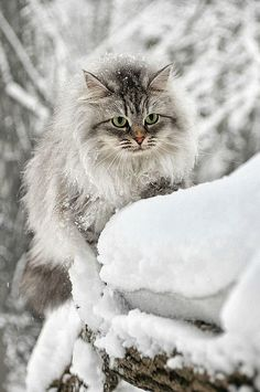 Animals in Winter Wonderland - Cat