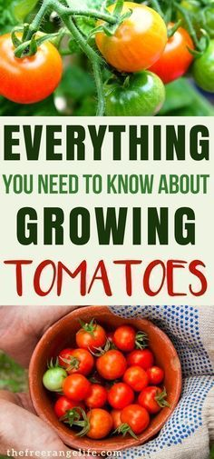 Tips for Growing Tomatoes: Learn everything there is to know about growing tomatoes in your backyard garden. Gardening for Beginners| Organic Gardening | Garden Tips #growingtomatoesforbeginners #gardeningorganic #gardeningforbeginners #organicgardening #organicgardens #organicgardeningtips #backyardgarden