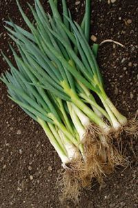 téli sarjadékhagyma Celery, Green Beans, Herbs, Vegetables, Gardening, Lawn And Garden, Herb, Vegetable Recipes, Veggies