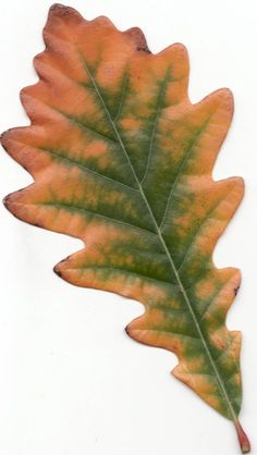 Oak Tree Illustration Pictures 31 Ideas For 2019 White Oak Leaf, White Oak Tree, Oak Leaves, Tree Leaves, Plant Leaves, Oak Tree Tattoo, Deer Tattoo, Raven Tattoo, Tattoo Ink