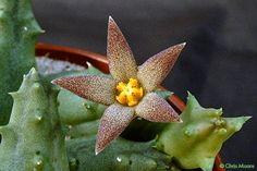 Piaranthus comptus N.E.Brown