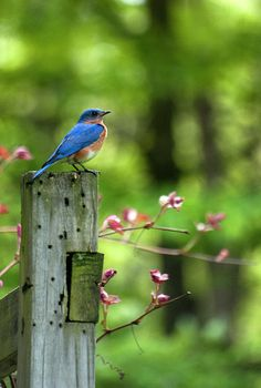 """Eastern Bluebird"" by Christina Rollo www.rollosphotos.com. The Eastern Bluebird  (Sialia sialis) loves to perch on tree branches and wires observing insect prey. An eastern bluebird will swoop down and catch a flying insect or go down to the ground to feed on a grasshopper, cricket or other insect. The Eastern Bluebird is the state bird of Missouri and New York in the USA. #bluebird #spring #rollosphotos #photography"