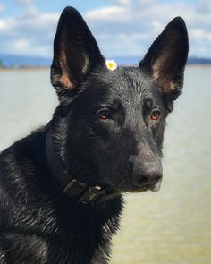 What to know about Black German Shepherds? The fact that most people confuse them with the standard German shepherds makes it difficult to distinguish them. In this article, we will find out 9 things you didn't know about the Black German shepherd. German Shepherd Videos, Black German Shepherd Dog, German Shepherd Puppies, Baby German Shepherds, Merle Australian Shepherd, Types Of Dogs Breeds, Best Dog Breeds, Pet Breeds, Blue Merle