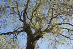 Sophora de Jussieu - planté au Jardin des Plantes de Paris en 1747 - classé arbre remarquable de France