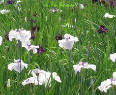 A flor de íris é belíssima e quando residia no Japão tive o prazer de ir visitar uma plantação muito bonita. Visitei uma festividade dessas flores. Amei!!!