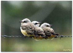 Baby scissor-tailed flycatchers! (Family: Tyrannidae)