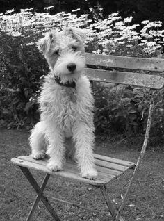 a french wire haired terrier