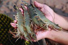 Tôm có dấu hiệu này đừng mua, mang về ăn hại thân Shrimp