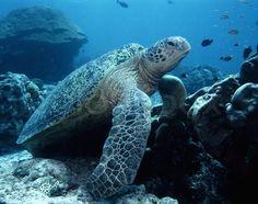 Green sea turtle swimming in ocean sea | Stock Photo | Colourbox on Colourbox