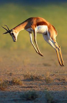 La gacela saltarina de El Cabo o springbok (Antidorcas marsupialis) Comparten territorio con otros herbívoros, como el órice de El Cabo, elefante de sabana africano, ñu azul, cebra, y blesbok. Con el impala osólo coinciden en los bordes de su área de distribución, como en el Parque nacional Etosha y el área de Pilanesberg.