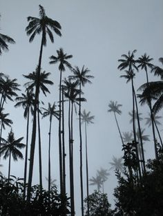 Wax Palm tree Only in Colombia Cities, Cali Colombia, My Roots, My Images, Branches, Palm Trees, Cool Pictures, Flora, Beautiful Places