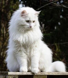 Lesharo of Sinthari, white German longhair cat - My Cats - Happy cats Fluffy Kittens, White Kittens, Cats And Kittens, Turkish Angora Cat, Angora Cats, Pretty Cats, Beautiful Cats, Pics Of Cute Cats, Long Haired Cats