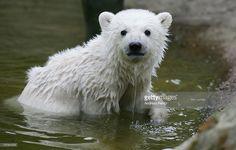 Knut the polar bear cub plays in his pen at Berlin's Zoologischer Garten zoo on April 3, 2007 in Berlin, Germany.