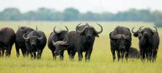 One of the members of our big five, African Buffalo