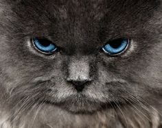 Blue eyes #cat #eyes #photography THE VERY NATURE OF BLACK