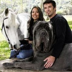 English Mastiff one of the largest dogs in the world. This guys head is as big as the horse!
