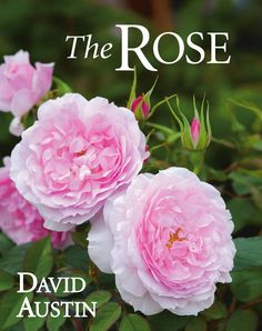 The Rose  A new revised edition of this stunning guide to the roses grown in gardens, featuring eighteen new varieties of roses that have been bred recently