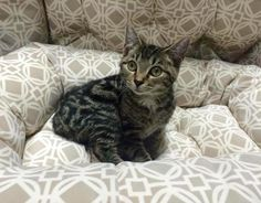 Bear Cat • Bengal & Tabby Mix • Young • Male • Small Animal Rescue R Us Lodi, NJ