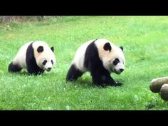 Toronto's Playful 2-Year-Old Panda Twins (October 2017) - YouTube