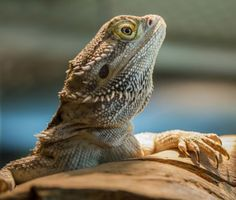 Tempted to get a bearded dragon? Our exotics veterinarian shares basic tips for caring for bearded dragons plus other interesting facts to know.