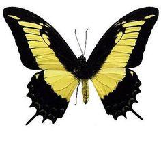 Papilio Androgeus Laodocus | Tudo Sobre Borboletas