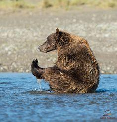 """Brown Bear Leg Lifts"" - photo by Glatz Nature Photography, via Flickr;  A brown bear relaxes in a stream, Lake Clark National Park, Alaska."