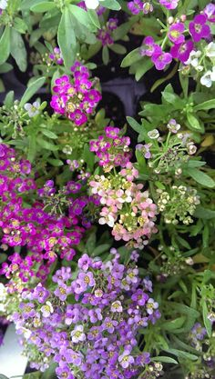 Sweet alyssum flower - How to grow Sweet alyssum plant, growing beautiful Sweet alyssum flowers in your garden http://www.growplants.org/growing/sweet-alyssum