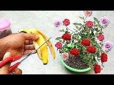 Rose Cuttings, Flora, Make It Yourself, Garden, Nature, Plants, Youtube, Quotes, Vertical Herb Gardens