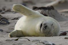 sleeping grey seal pup