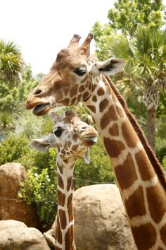 Jacksonville Zoo Giraffes - you can feed them from a raised platform so you are right next to their heads, the gentle giants! <3