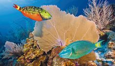 Gorgeous fish in the Belize Barrier Reef
