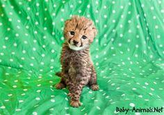 Bebek hayvanlar   #babycheetah  #cutebabycheetah  #cutecheetah  #littlecheetah #sweetcheetah  #funnycheetah  #babyanimals  #babyanimal  #cuteanimals  #sweetanimals  #cheetah  #yavruhayvanlar  #yavruhayvanresimleri  #sevimlihayvanlar