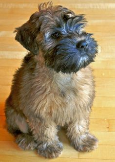 Lulu the Wheaten Terrier