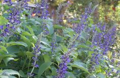 Mealy Blue Sage for the ritual garden. This stuff grows in a field not half a mile from the house with no help from anyone.