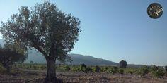 """Desde la Sierra de Salinas la mirada bella de nuestros #olivos """"acunando"""" a nuestros #viñedos de cepas viejas. Gracias madre tierra... Despedida a nuestra #vendimia2014  #agriculturaecológica"""