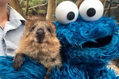 BUT LET'S LOOK AT THE QUOKKA PIC AGAIN BECAUSE GAAAAHHHHHHHHHHH. | Cookie Monster Met A Quokka And It Will Make You So Damn Happy