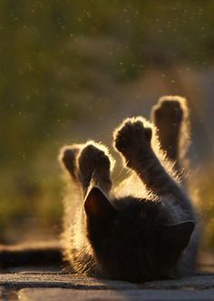 Lovely SKY LIGHTS - https://www.pinterest.com/DianaDeeOsborne/sky-lights/ - SUNLIGHT sunshine photography composition backlighting shows off this playful kitten. Photo pinned with info: crescentmoon animalia