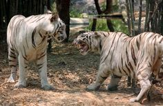 White Tiger face to face Photo by Dilipan Mohan -- National Geographic Your Shot