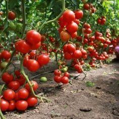 The key to a high harvest of tomatoes is to .- Залогом высокого урожая томатов является н… The key to a high harvest … - Tomato Plants, Small Farm, Botanical Gardens, Farmer, Outdoor Gardens, Harvest, Outdoor Living, Home And Garden, Backyard