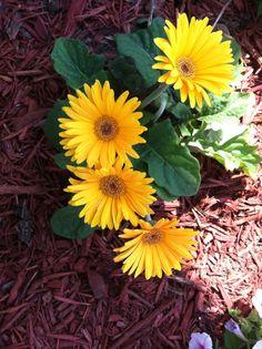 Yellow gerber daisys