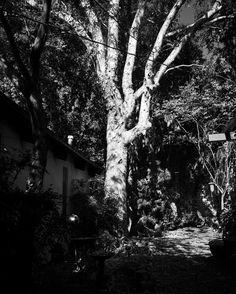 A garden view #garden #gardenersnotebook #tree #eucalyptus #bw #blackandwhite #blackandwhitephotography